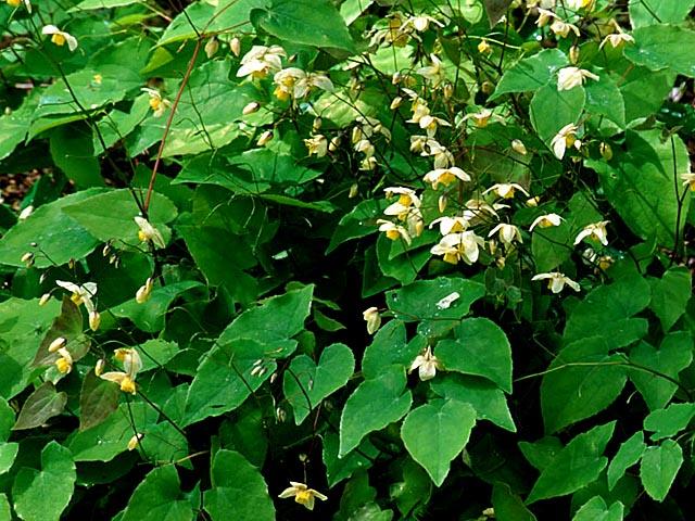 Epimedium x versicolor 'Neosulphureum'