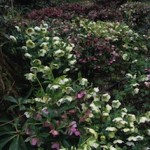 A river of hellebores