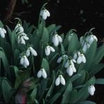 Galanthus elewesii