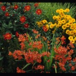 Crocosmia 'Star of the East', Dahlia 'Forncett's Furnace, Miscanthus 'Gold Bar'; Heronswood