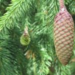 Picea cone