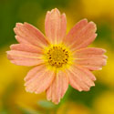 Coreopsis 'Sweet Marmalade'