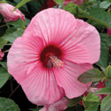 Hibiscus 'Brandy Punch'