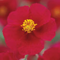 Helianthemum 'Hartswood Ruby'