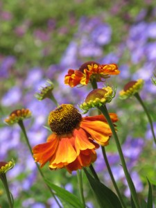 Helenium 'Mardi Gras' and Geranium 'Rozanne' — at UW Center For Urban Horticulture.