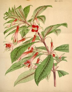Fuchsia denticulata - William Jackson Hooker
