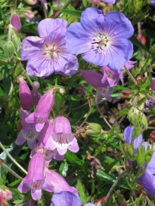 Geranium and Penstemon at CUH