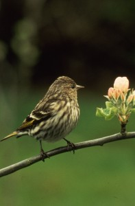 Pine Siskin on branch