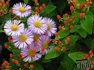 Aster novae-angliae 'Vibrant Dome' with Hypericum Hypearls 'Renu'