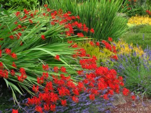 Summer Crocosmia | #HPSW
