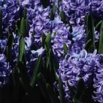 Hyacinthus 'Delft Blue'