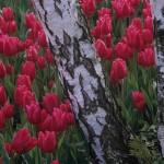 Tulip Christmas Marvel