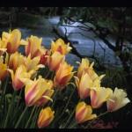 Tulip; Ilga Jansons Design